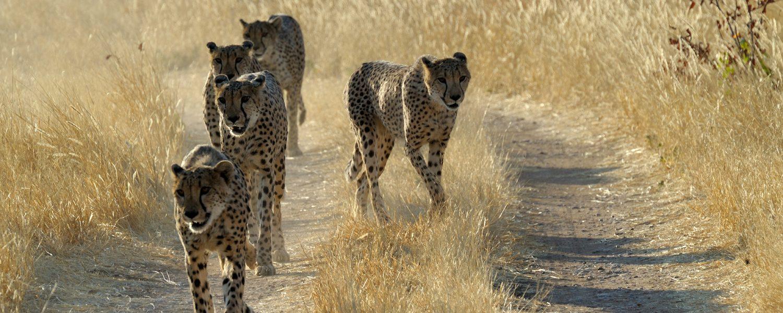 Cheetahs_road