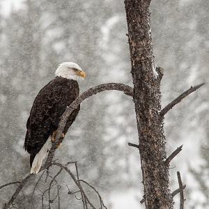 Bald eagle, Gibbon River