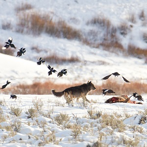 A wolf chases magpies and ravens from an elk carcass near Soda Butte;  Jim Peaco; January 10, 2016; Catalog #20469d; Original #IMG_9965