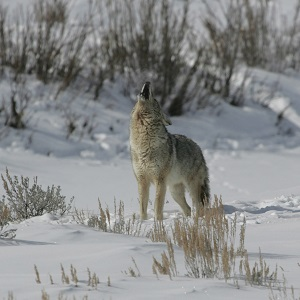 Coyote howling in Lamar Valley; Jim Peaco; February 2006; Catalog #18346d; Original #IT8M8861