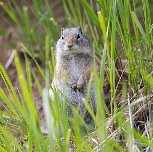 Uinta ground squirrel; Neal Herbert; May 2014; Catalog #19452d; Original #9756