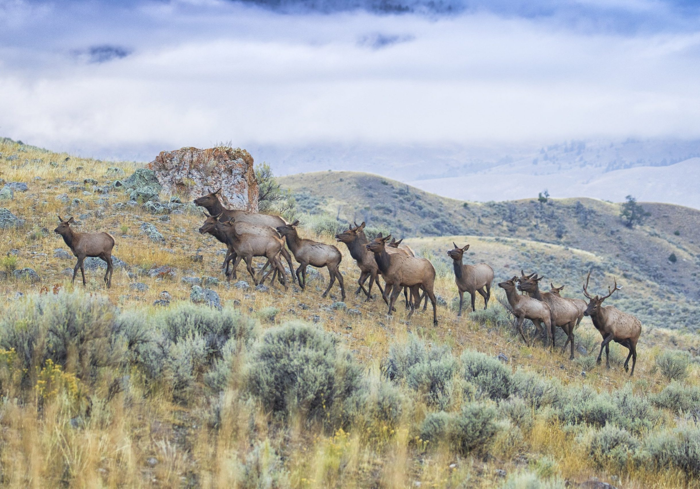 A elk herd runs across Lamar Valley in Yellowstone National Park