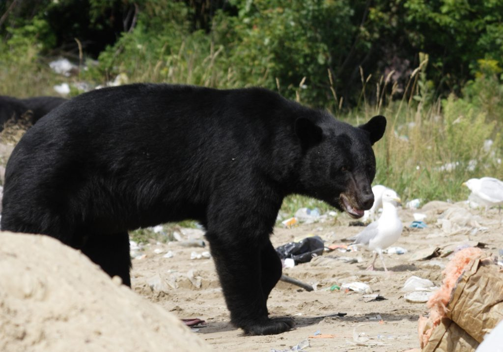Wild black bear searching for food at residential garbage dump site in Killarney Provincial Park of Ontario
