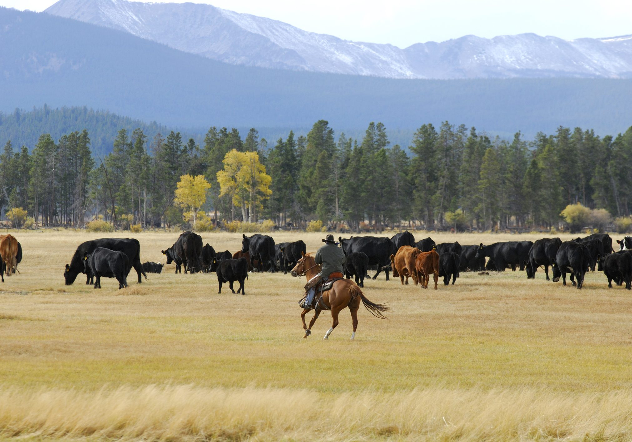 Cowboy is driving the cattle toward the mountain. Yellow Aspen trees in the distance.