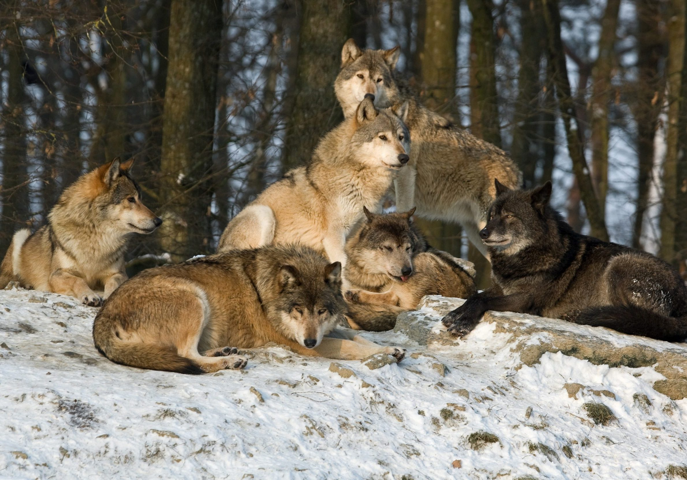 Six wolves are resting in the evening sun. RAW-file developed with Adobe Lightroom. Canon Mark III and 400mm L IS.