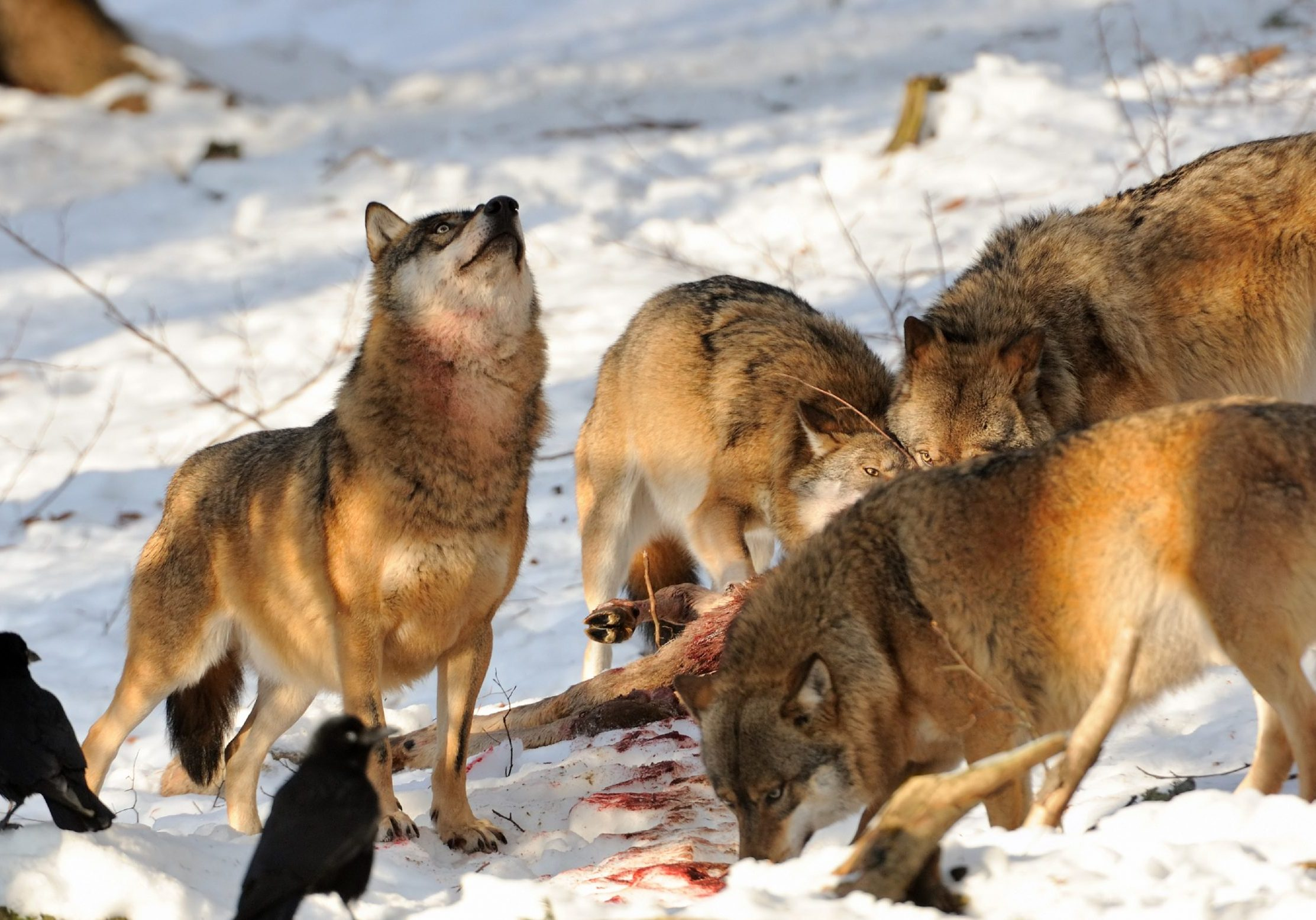 a pack of wolfes with a freshly killed deer