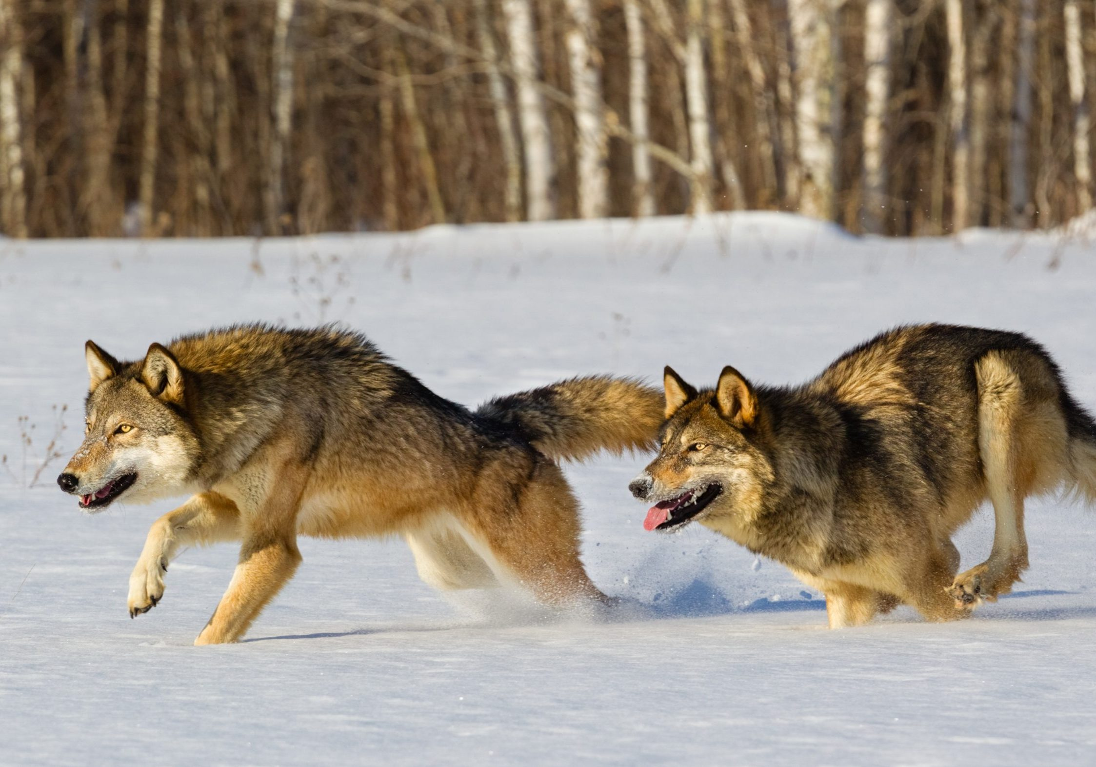 Gray Wolves Running in Snow