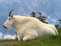 Mountain Goat Oreamnos Americanus Symbol Glacier National Park Montana