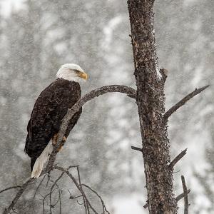 Bald eagle, Gibbon River