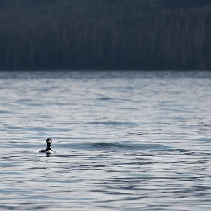Loon in the southeast arm of Yellowstone Lake; Neal Herbert; August 2014; Catalog #19718d; Original #4798