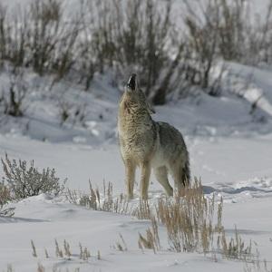 Coyote howling in Lamar Valley; Jim Peaco; February 2006; Catalog #18346d; Original #IT8M8861