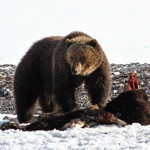 Grizzly bear on bison carcass near Yellowstone Lake; Jim Peaco; April, 2013; Catalog #19070d; Original #IMG9750