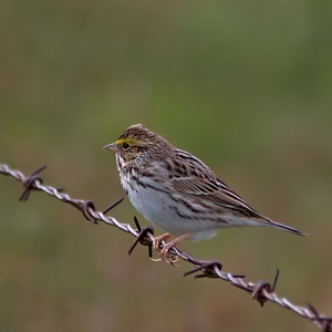 Savannahsparrow