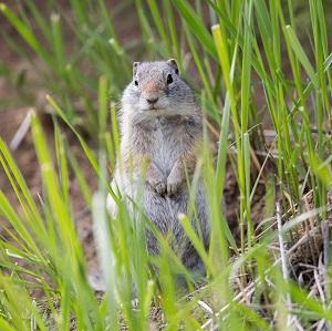 Uinta ground squirrel; Neal Herbert; May 2014; Catalog #19452d; Original #9756